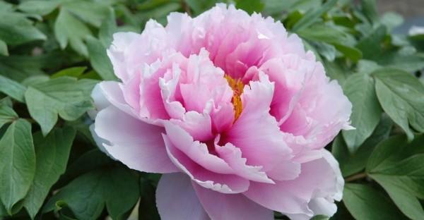 牡丹の花言葉と名前の由来☆ギフトに添える豆知識
