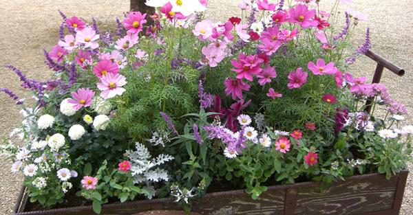 秋の花ガーデニング☆プランターで育てやすい花々とは