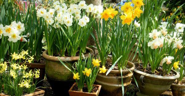 水仙の育て方☆球根選びから花後までの手順とポイント