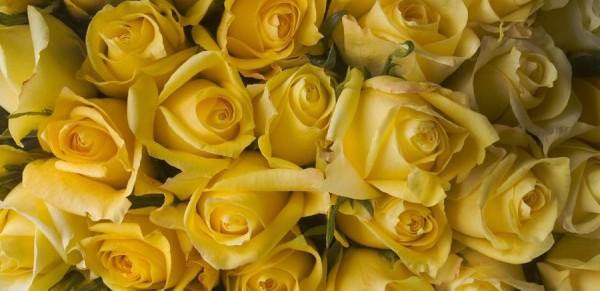 黄色いバラの花言葉に気を付けて!花贈り7つの注意点