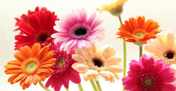 ガーベラの花言葉で告白☆色別で伝える7つの恋心