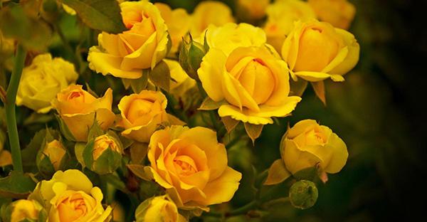 黄色いバラの花言葉は切ない?意外!7つのメッセージ