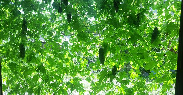ゴーヤの育て方☆緑のカーテンを楽しみ収穫!7つの手順