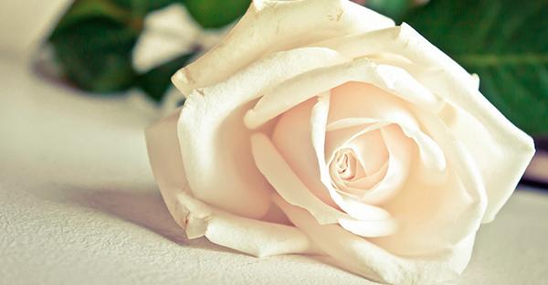 白薔薇の花言葉と合う花々☆花束で紡ぐ7つのメッセージ