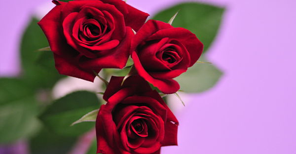 赤いバラの花言葉を贈る☆花姿で伝えるメッセージとは
