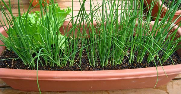 ネギの栽培で節約キッチン☆水耕栽培なら簡単!7つの手順