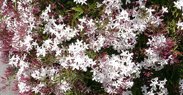 ジャスミンの育て方☆鉢植えで花を咲かせる7つのステップ
