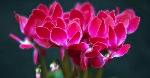 シクラメンの育て方☆贈られた花を長く保つ7つの手入れ