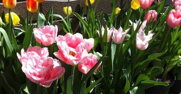 チューリップの育て方☆鉢植えで可愛く花開くポイント