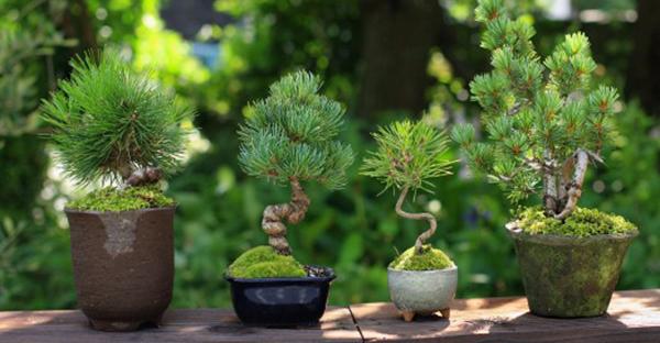 盆栽の育て方、実は簡単!ミニサイズから始める7つの手順