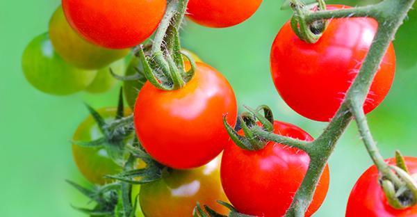 トマトの育て方での注意点☆初心者が間違えやすい失敗とは