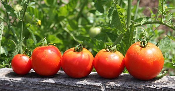 トマトの育て方から始める家庭菜園☆初めてさんの基礎知識