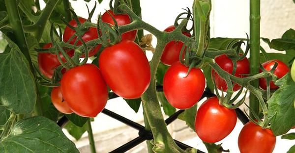 トマトの育て方は簡単!初めてのプランター栽培7つのコツ