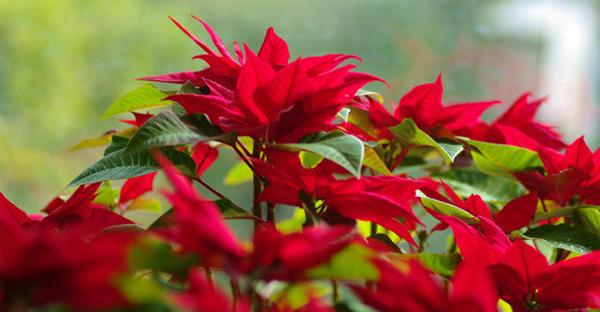 ポインセチアの花を咲かせる☆キレイな赤色に染まるコツ