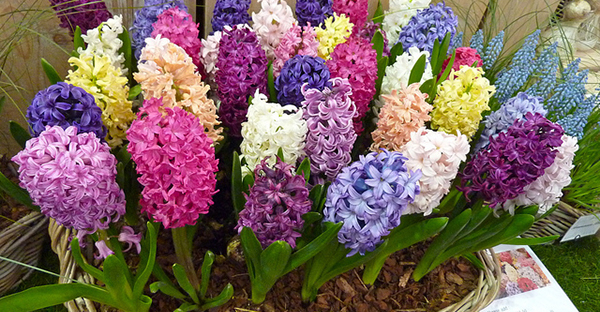 ヒヤシンスの育て方☆球根から花を咲かせる7つのポイント