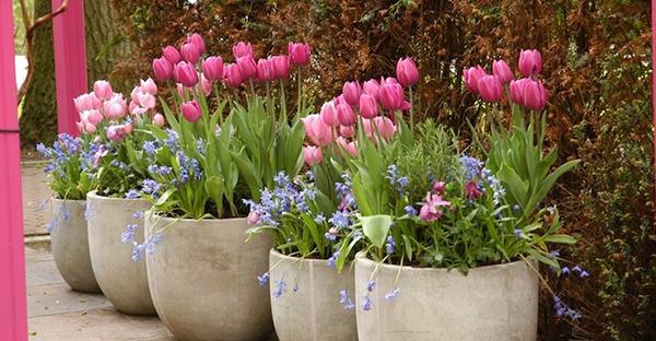 チューリップの球根に挑戦!キレイな花を咲かせるコツ