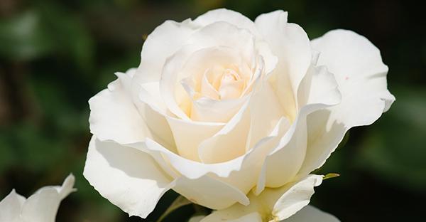 白薔薇の花言葉☆蕾や小輪、咲き姿で違う7つのメッセージ