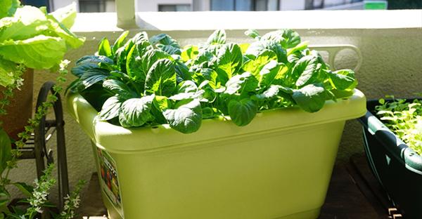 プランター野菜で家庭菜園!ベランダで育つ7つのおすすめ