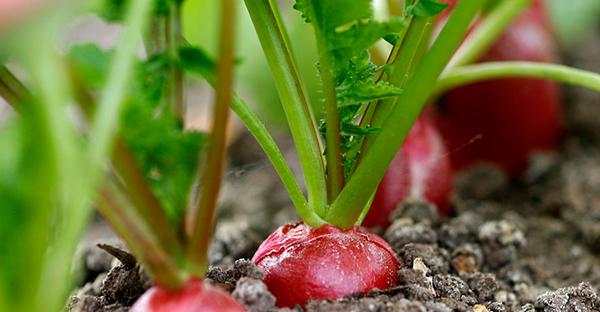 ラディッシュの育て方☆プランターで手軽に収穫7つのコツ