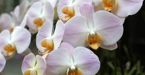胡蝶蘭を育てるプロが行なっている7つの基本と管理とは