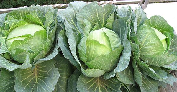 キャベツ栽培がお家でできる!プランターで育てる手順