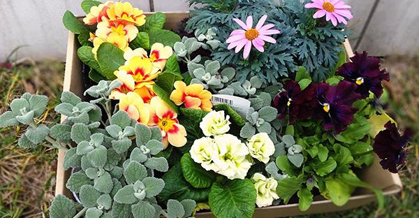 冬に咲く花で寄せ植え☆庭先を彩るおすすめの組み合わせ