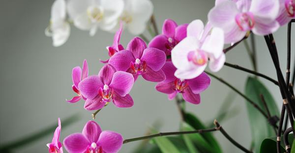 胡蝶蘭を贈られたら☆置き場所や水やり、7つの手入れ