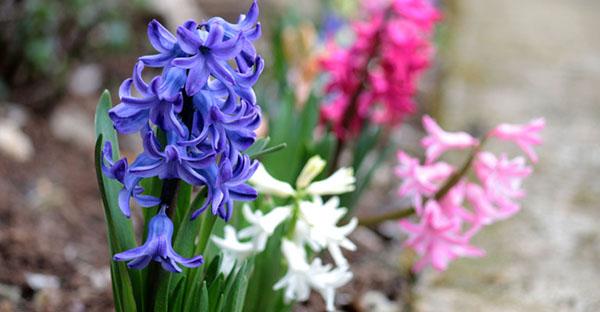 ヒヤシンスの花言葉☆神話や色別メッセージ、7つの豆知識