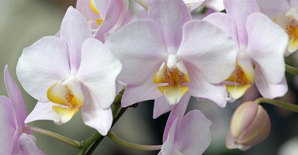 胡蝶蘭を贈るなら☆相手によって選びたい7つの品種