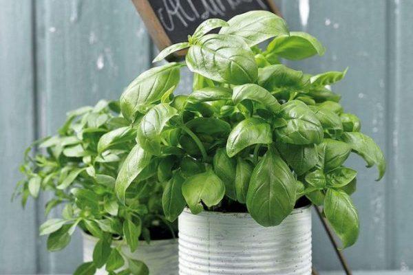 バジル栽培、プランターで増やす5つの方法
