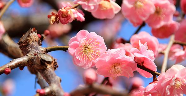 梅の花言葉を贈る☆日本の美徳が詰まった7つのメッセージ