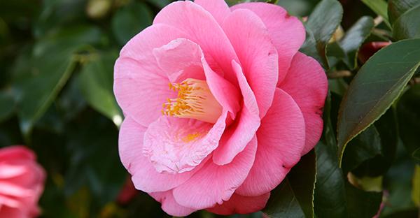 椿の花言葉は色で違う☆思いを添える色別メッセージ