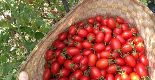 トマト栽培は奥が深い!美味しく収穫する7つの裏ワザ