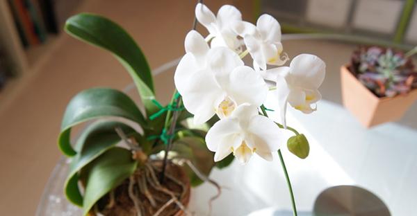 胡蝶蘭の育て方、基礎知識☆プロが教える長持ちのポイント