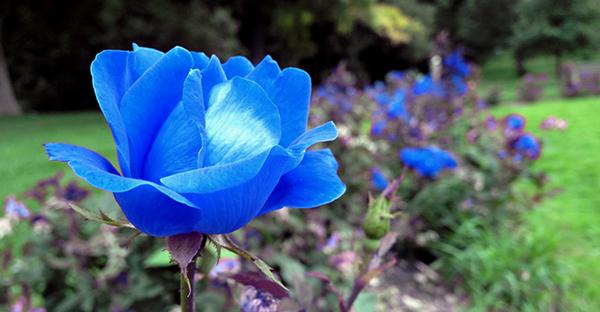 青いバラの花言葉を贈る☆祝福にエールに、7つの体験談