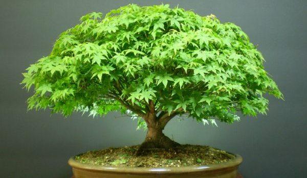 盆栽の育て方に必要な5つのコツ