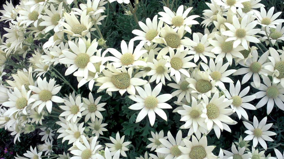 フェンネルフラワーが育てやすい鉢花として選ばれるワケ