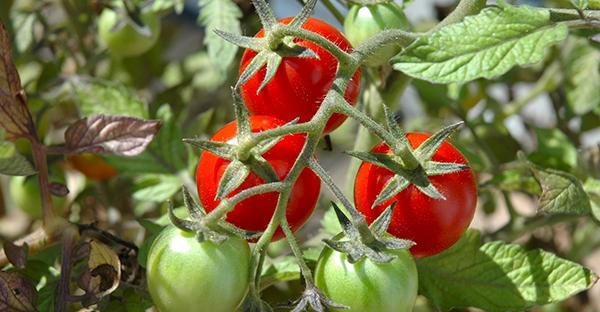 トマト栽培、上級者編!甘~く育てるためのプロの技