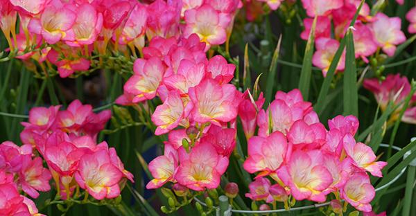 2月の誕生花フラワーギフト☆花言葉で選ぶおすすめの花