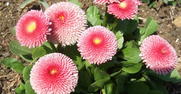 1月に花を植えるなら☆冬から始めるガーデニング