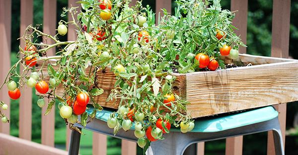 トマト栽培でお店の味☆美味しく甘~い実がつく秘密