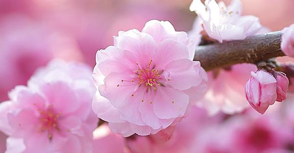 桃の花言葉は可愛い☆女の子に贈りたい7つのメッセージ
