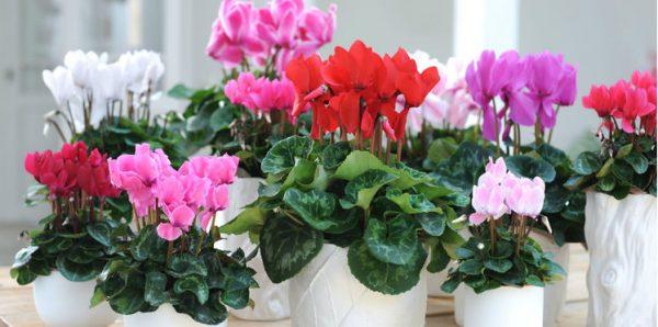 シクラメンの花言葉、意味と役立つ5つの知識