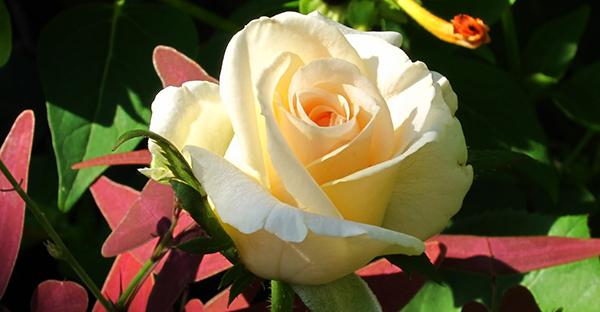 薔薇の育て方☆ベランダで楽しむ鉢栽培のポイント