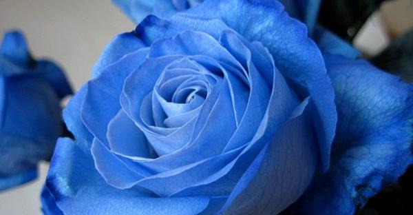 青いバラの花言葉に潜むストーリー☆感動のメッセージとは