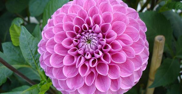 ダリアの花言葉にカードを添えて☆表と裏7つのメッセージ