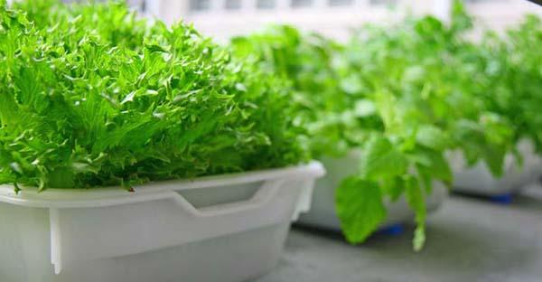 水耕栽培で家庭菜園☆手軽に育てて便利!7つの野菜