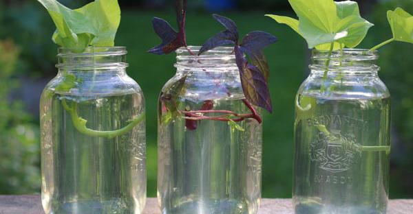水耕栽培はとても簡単☆100均で準備もできちゃう方法とは