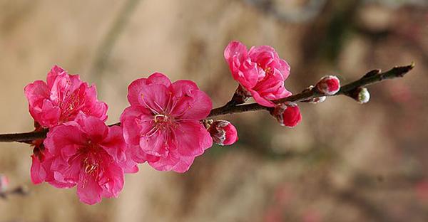 桃の花言葉をギフトに添えて☆女の子が喜ぶメッセージ