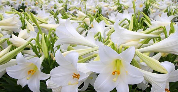 6月の誕生花ギフト☆贈られて嬉しい、人気!7つの花々